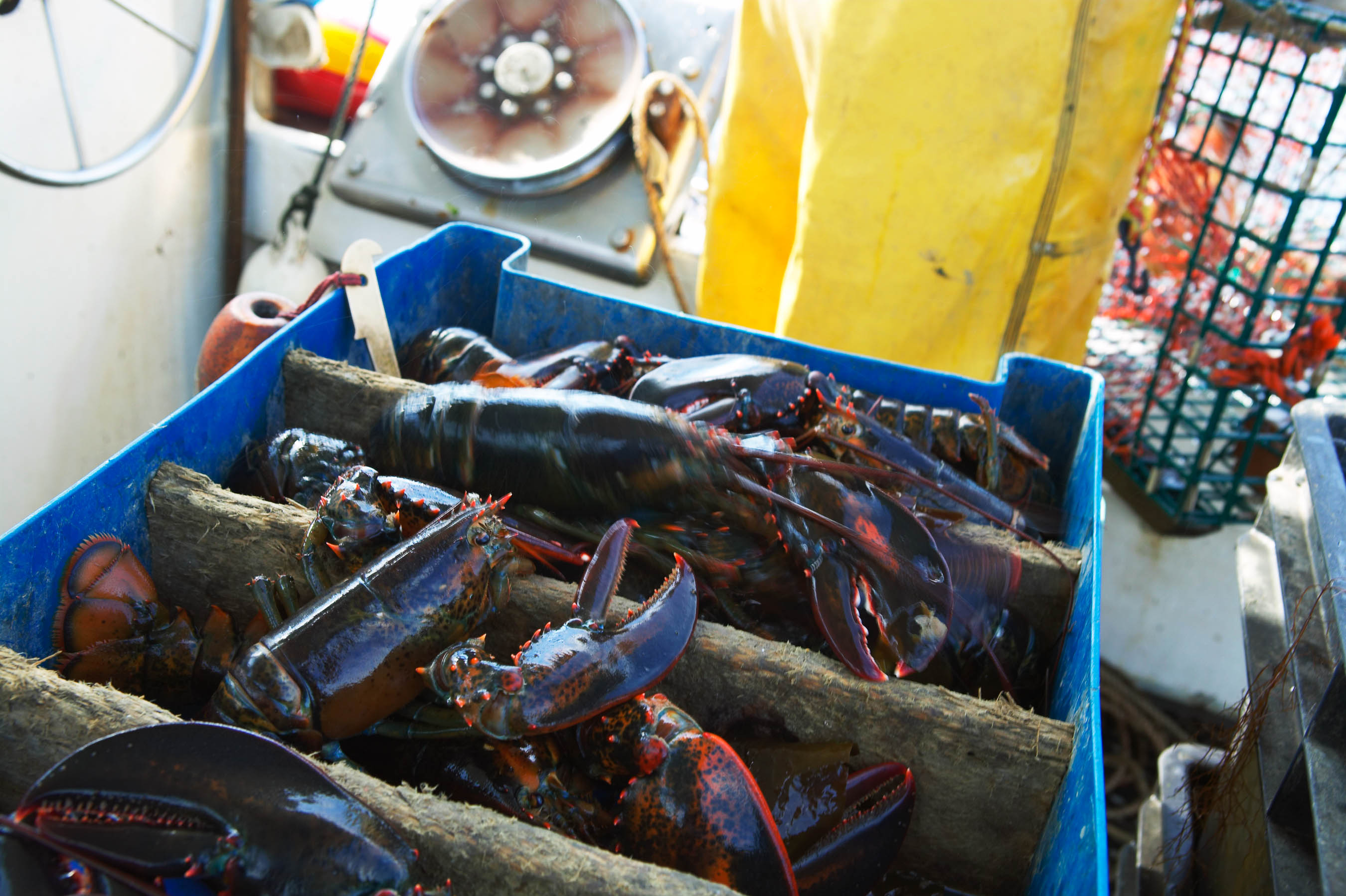 Catch of lobsters on a lobster boat