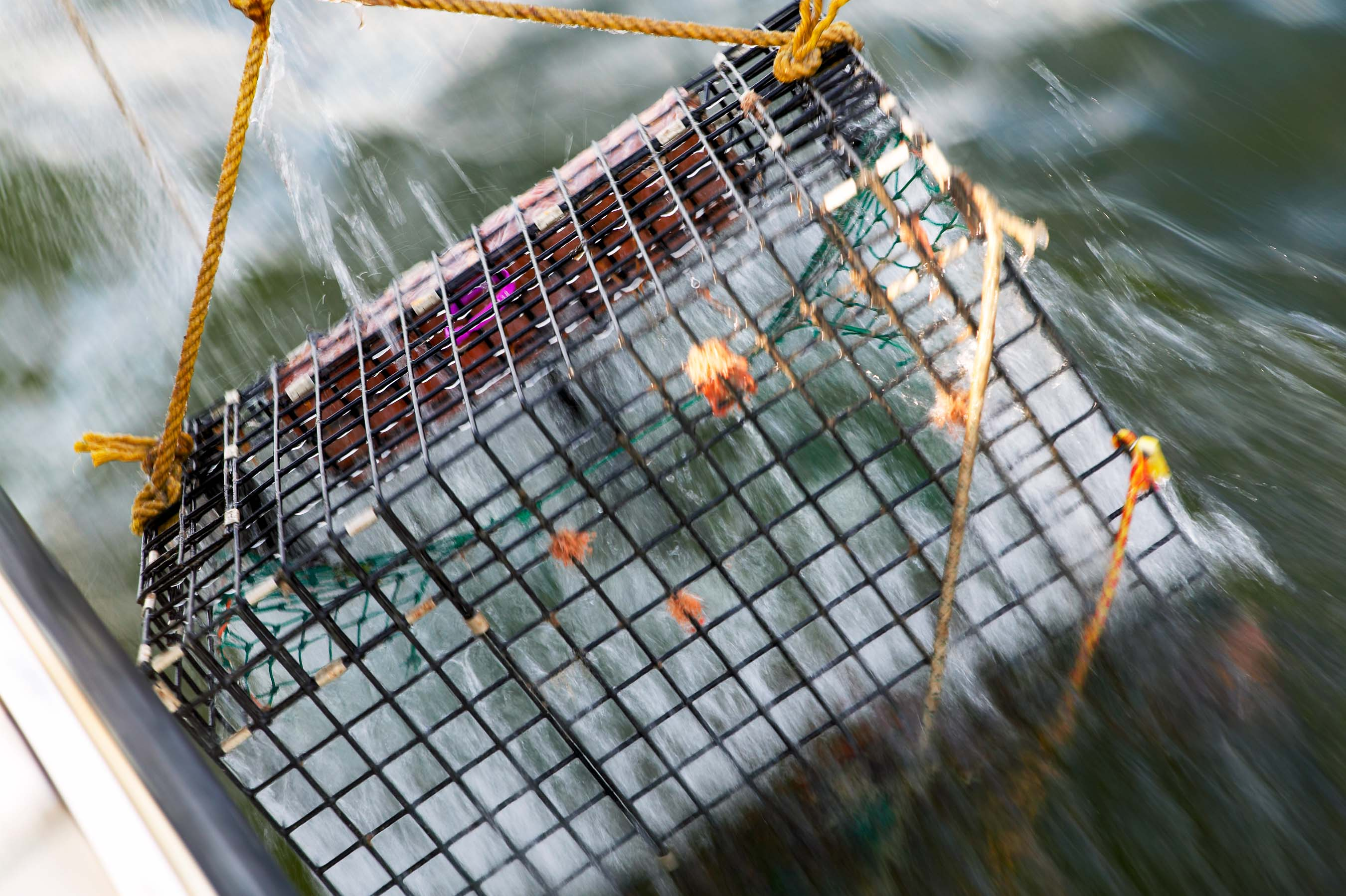 Lobster trap being hauled